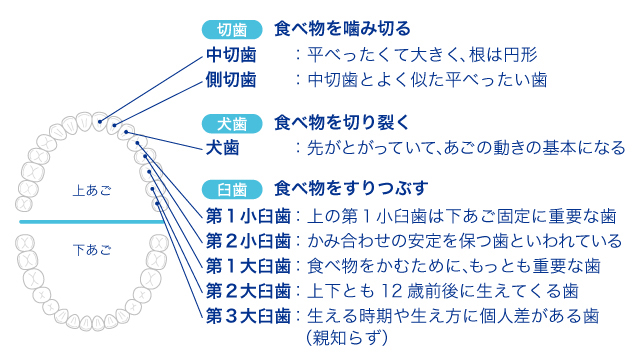 http://clinica.lion.co.jp/oralcare/image/ha-role/img-ha-role5.jpg